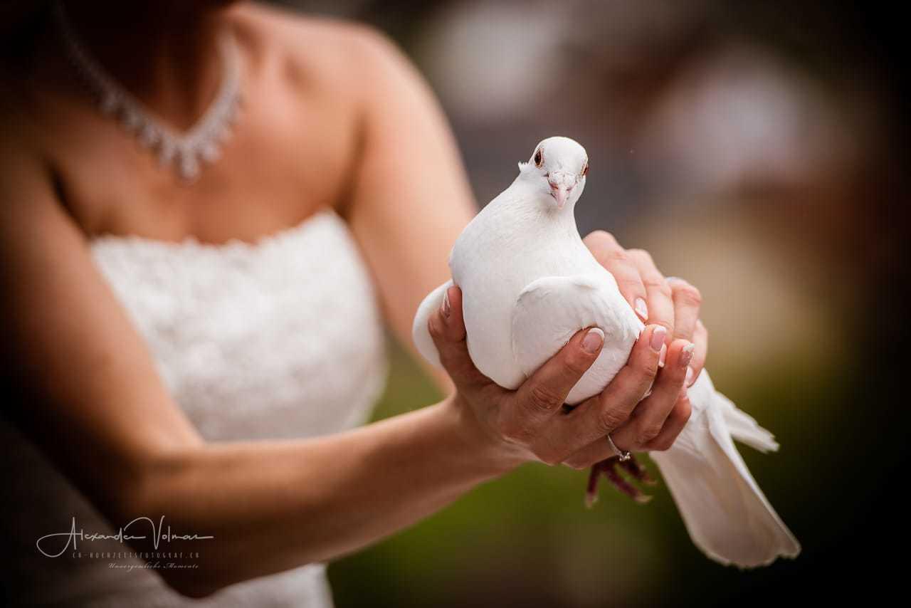 Taube in den Händen der Braut